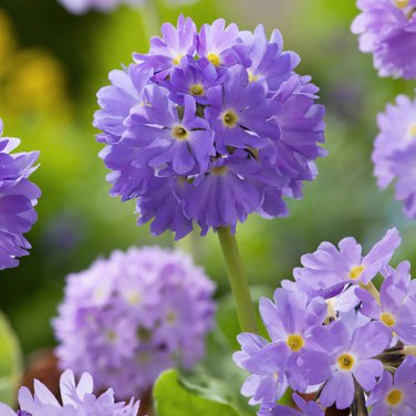 Showy Lilac Drumstick Primrose Primula denticulata - 20 Seeds