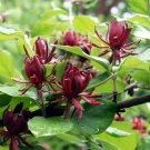 Maroon Sweet Betsy Ornamental Calycanthus Floridus  - 20 Seeds