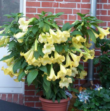 Fragrant Yellow Angel's Trumpet Brugmansia sp. - 5 Seeds