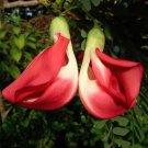 Agati Butterfly Tree Corkwood Sesbania Grandiflora – 10 Seeds
