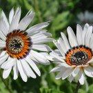 Rare Heirloom Zulu Prince Daisy Arctotis fastuosa - 50 Seeds