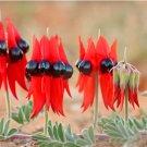 Rare and Unusual Australian Red Glory Pea Swainsona Formosa - 8 Seeds