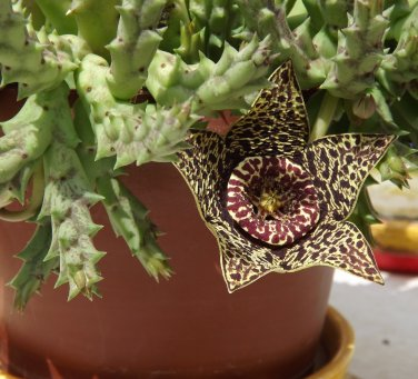 Unusual Succulent Starfish Plant Stapelia Orbea variegata - 15 Seeds