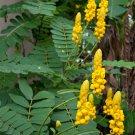 Empress Candle Plant Cassia Senna Alata - 12 Seeds