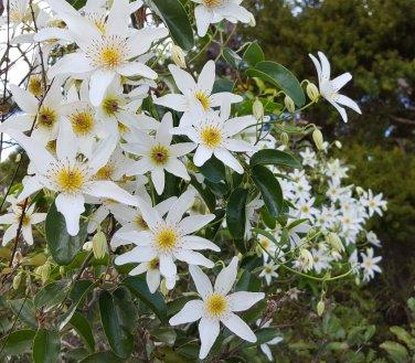 Rare Native New Zealand Bridal Veil Clematis paniculata - 18 Seeds