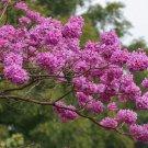 Ipe Roxo Pau D'arco Tabebuia Impetiginosa - 10 Seeds