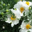 Fried Egg Flower Matilija Poppies Romneya coulteri - 25 Seeds