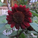 Unusual Maroon Red Sunflower 'Cabaret' Helianthus annuus - 40 Seeds