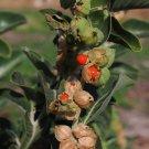 Medicinal Herb Organic Ashwagandha Withania somnifera - 50 Seeds