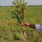 Medicinal Herb Ashwagandha Withania somnifera - 50 Seeds