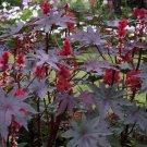Castor Oil Plant Ricinus communis var. gibsonii- 8 Seeds