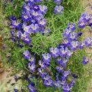 Rare Blue Nasturtium Vine Tropaeolum azureum - 4 Seeds