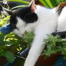 True Catnip Organic Herb Seeds Nepeta cataria - 300 Seeds