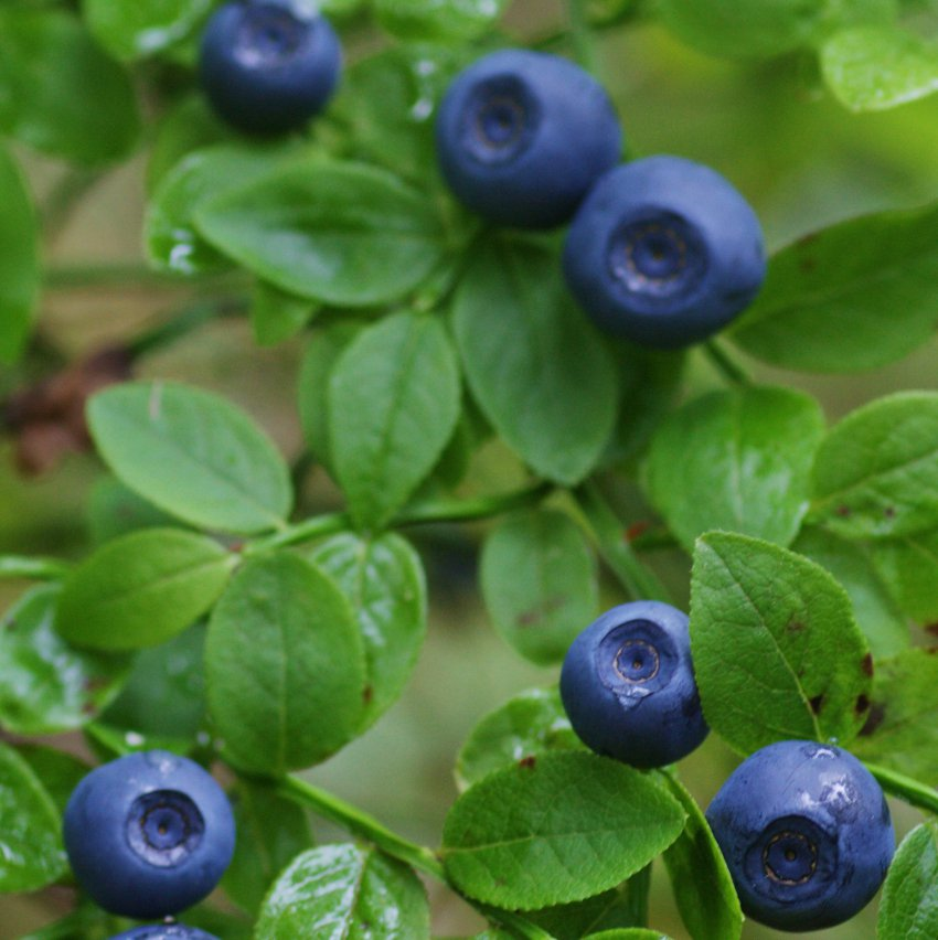 True Wild European Bilberry Vaccinium myrtillus - 40 Seeds