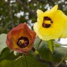 Rare Mahoe Sea Hibiscus Talipariti tiliaceum - 8 Seeds