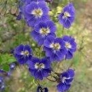 Scarce Blue Nasturtium Vine Tropaeolum azureum - 4 Seeds