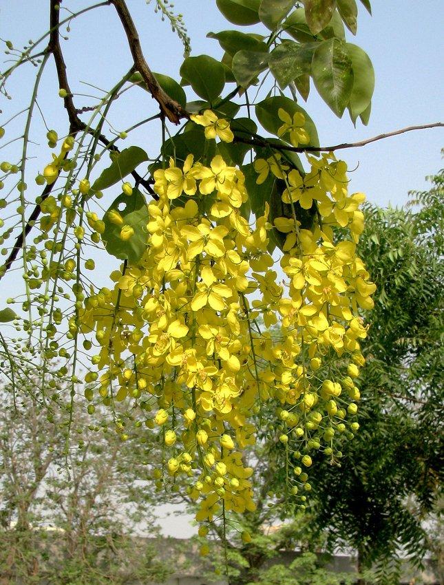 Gold Shower Tree Cassia fistula - 8 Seeds