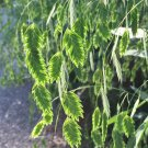 Ornamental Grass Flathead Oats Chasmanthium Latifolium - 30 Seeds