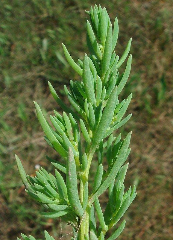 Rare! Annual Sea-Blite Seepweed Suaeda maritima - 30 Seeds