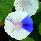Morning Glory 'Carnevale di Venezia' Ipomoea RARE - 10 Seeds