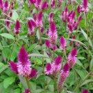Wheat Celosia Ruby Parfait Celosia argentea spicata - 50 Seeds