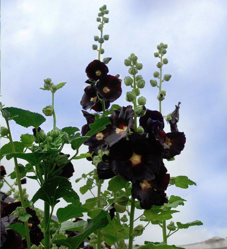 Goth Garden Almost Black Hollyhock Alcea Rosea Nigra - 25 Seeds