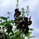 Goth Garden Almost Black Hollyhock Alcea Rosea Nigra - 25 Seeds