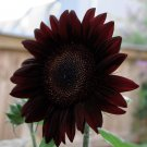 Goth Garden Black Beauty Almost Black Sunflower Helianthus annuus - 20 Seeds