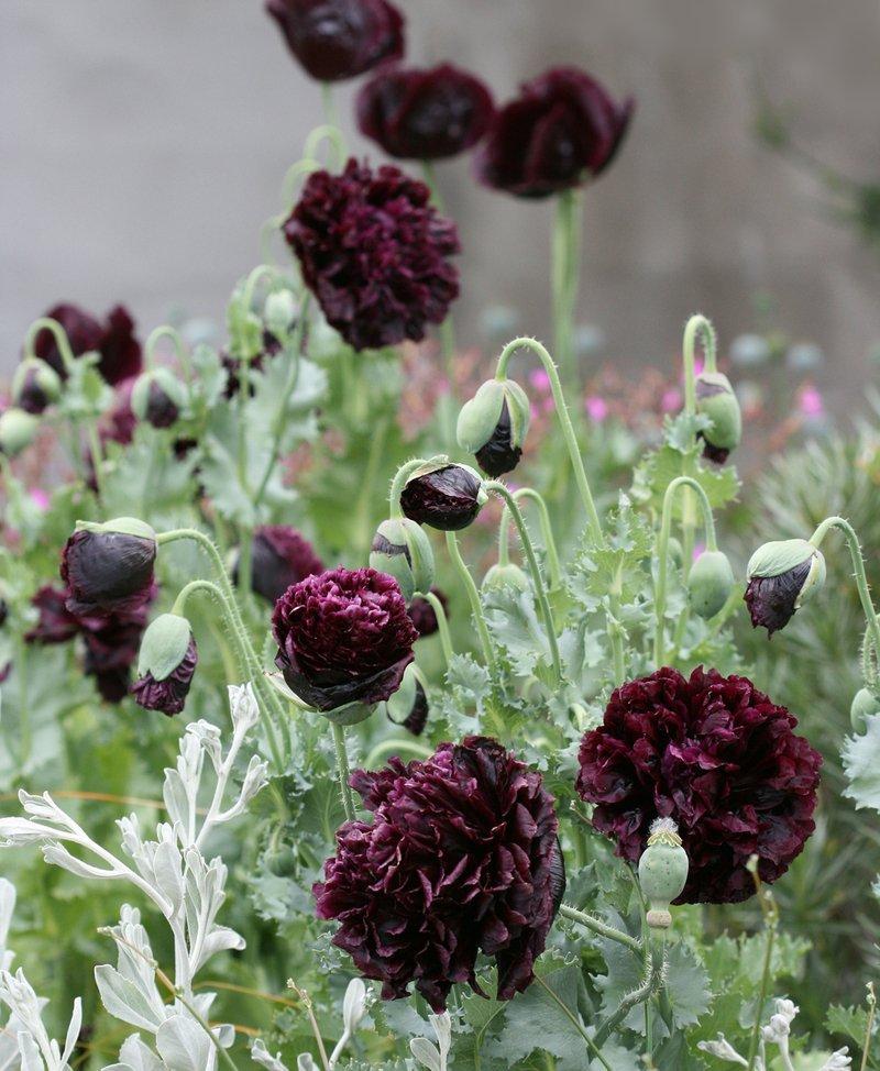 Goth Garden Almost Black Peony Poppy Papaver Somniferum Paeoniflorum - 50 Seeds