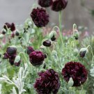 Goth Garden Almost Black Peony Poppy Papaver Somniferum Paeoniflorum - 50 Seeds