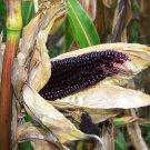 Goth Garden Organic OP Popping Corn Dakota Black Zea mays - 50 Seeds