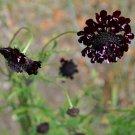 Goth Garden 'Black' Scabiosa Mourning Bride Scabiosa atropurpurea - 25 Seeds