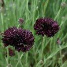 Goth Garden Cornflower Black Ball Centaurea cyanus - 40 Seeds