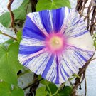 Striped Morning Glory 'Carnevale di Venezia' Ipomoea- 10 Seeds