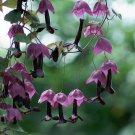 Purple Bell Vine Rhodochiton atrosanguineus Rare - 8 Seeds