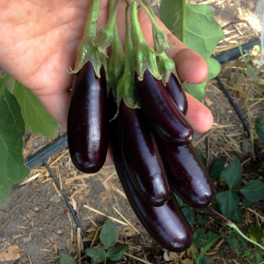 Goth Garden Eggplant Aubergine Little Fingers Solanum melongena - 25 Seeds