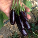 Goth Garden Eggplant Aubergine Little Fingers Solanum melongena - 30 Seeds