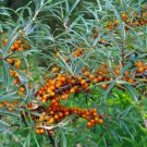 Hardy Sea Buckthorn Hippophae rhamnoides - 50 Seeds