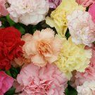 Edible Flowers French Carnation Chabaud Mix Dianthus caryophyllus - 100+ Seeds