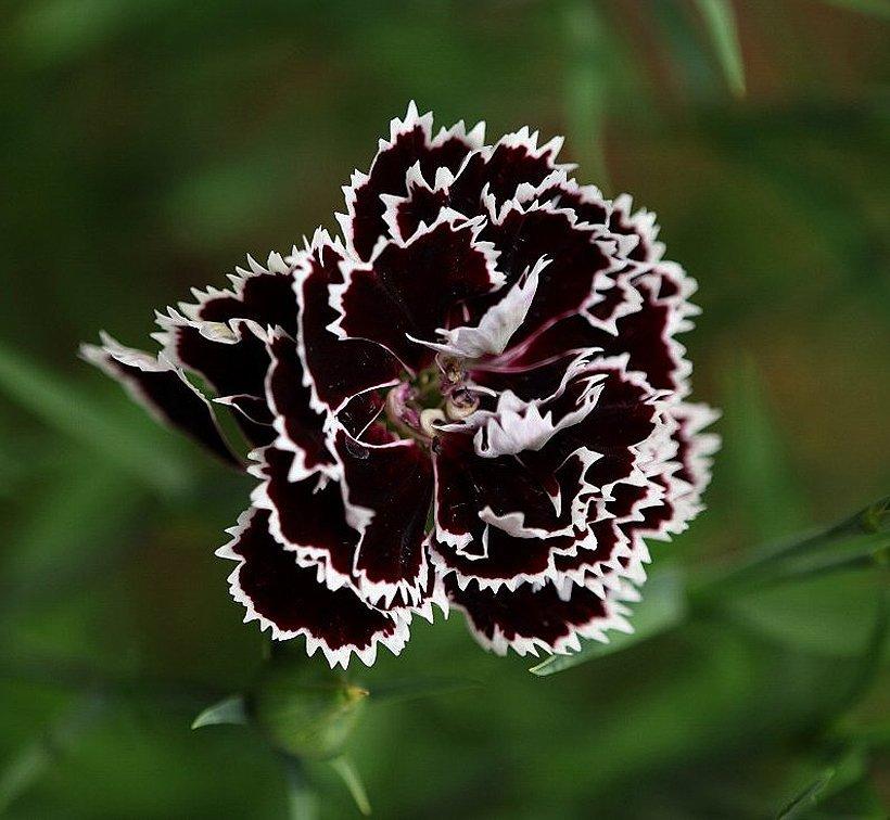 Goth Garden Carnation 'Black And White Minstrel' Dianthus Chinensis Heddewigii - 25 Seeds