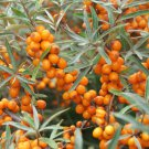 Hardy Sandthorn Seaberry Hippophae rhamnoides - 50 Seeds
