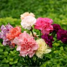Frilly Carnation Chabaud Mix Dianthus caryophyllus - 100+ Seeds