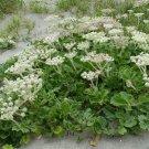 Rare! Wild Beach Carrot Glehnia littoralis leiocarpa - 40 Seeds
