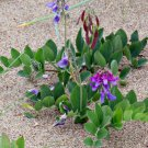 Rare! Hardy Wild Beach Pea Lathyrus japonicus maritimus - 18 Seeds
