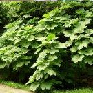 Hardy Wild Devil's Club Plant Oplopanax horridus - 15 Seeds