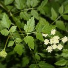 Medicinal Herb Rare Hardy Wild Water Parsely Oenanthe sarmentosa - 25 Seeds