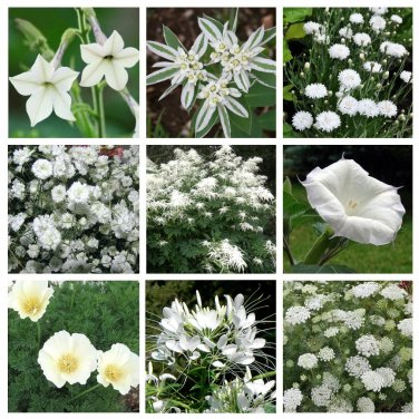 Moon Garden Monochromatic White Flower Seed Collection 9 Varieties
