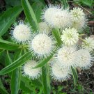 Showy White Buttonbush Cephalanthus occidentalis - 100 Seeds