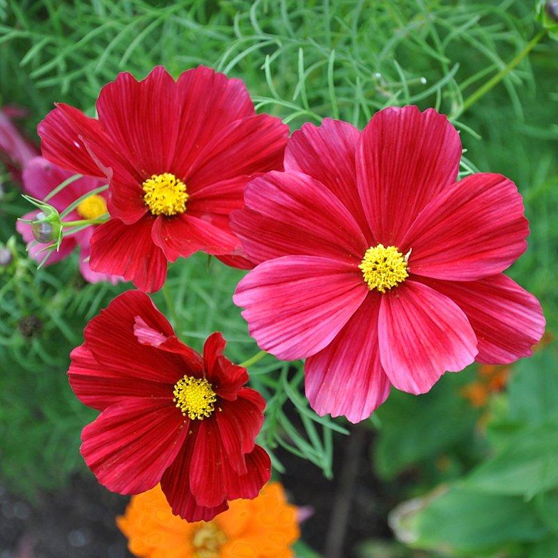 Red Cosmos Rubenza Cosmos bipinnatus - 100 Seeds