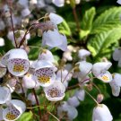 Rare Chilean Teacup Flower Jovellana punctata - 20 Seeds